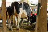 Holstein at Stratham Fair