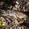 Gopher snake in the garden