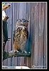 Owl at York's Wild Kingdom