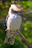 Kookaburra at York's Wild Kingdom