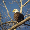 Bald Eagle Checking Me Out