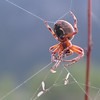 Spider Spinning His Web