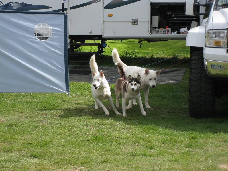 2 Alaska sleðahundar og einn husky voru nágrannar okkar