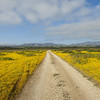 A small side-road overgrown with wildflowers in the middle of the Carrizo plain.