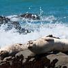 Harper seals.  I got pretty close to them.