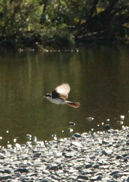 Restless Flycatcher (female)