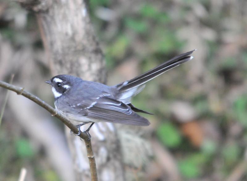 Grey Fantail (race albicauda)