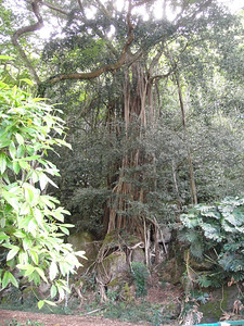 Banyan Tree at Waimea Falls