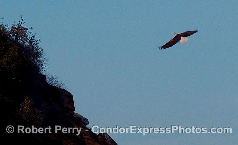 Haliaeetus leucocephalus in flight 2010 01-02 Sta Cruz Island  - 014