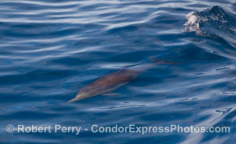 Delphinus capensis surfing wake 2010 01-02 SB Channel  - 039