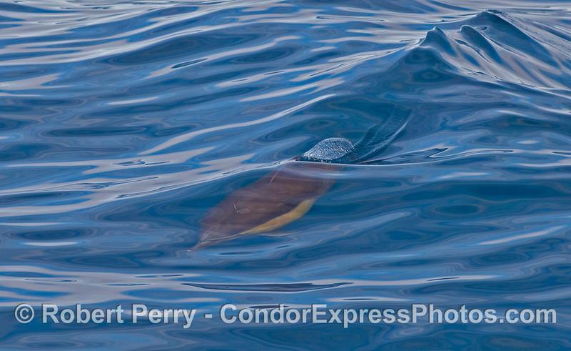 Delphinus capensis surfing wake 2010 01-02 SB Channel  - 007