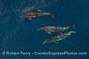 Delphinus capensis 3 UW dappled watercolor 2010 01-02 SB Channel f  - 044