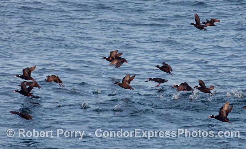Melanitta perspicillata taking flight 2010 01-02 Sta Cruz Island  - 009
