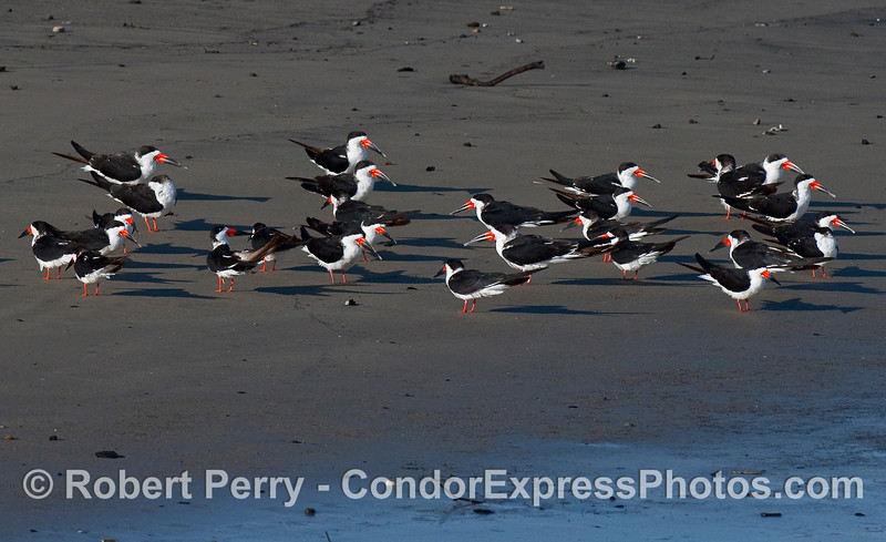 Rynchops niger flock on wet sand 2010 01-02 SB Harbor  - 006