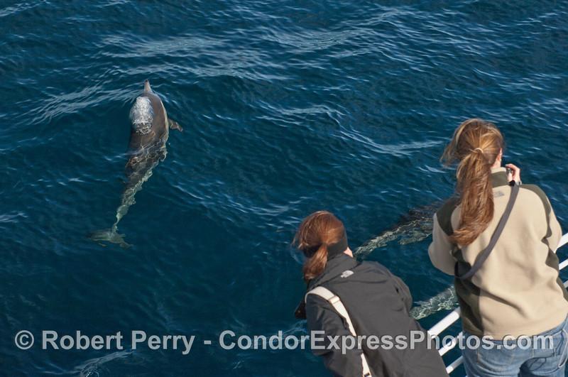 Delphinus capensis & passengers 2010 01-02 SB Channel c  - 043