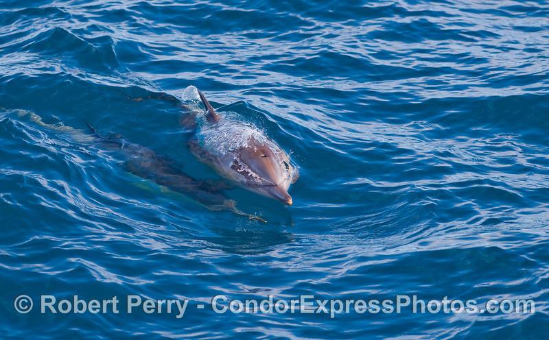 Delphinus capensis surfing wake 2010 01-02 SB Channel  - 001