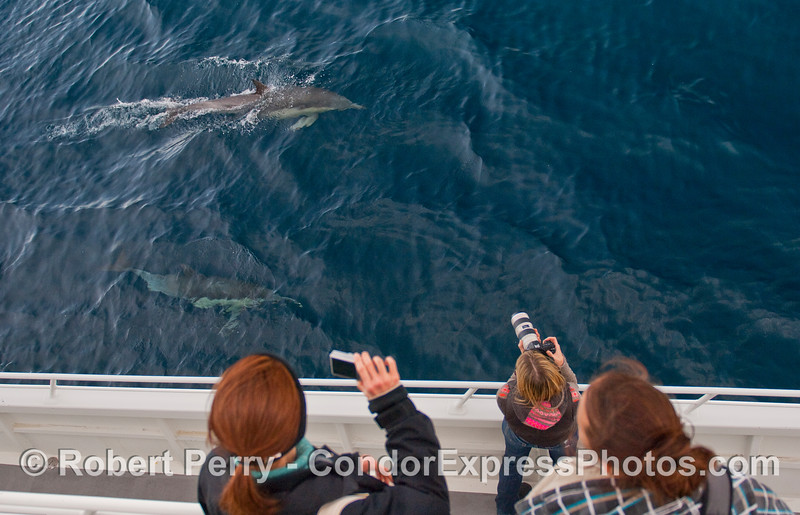 Delphinus capensis & passengers w cameras 2010 01-02 SB Channel f  - 013