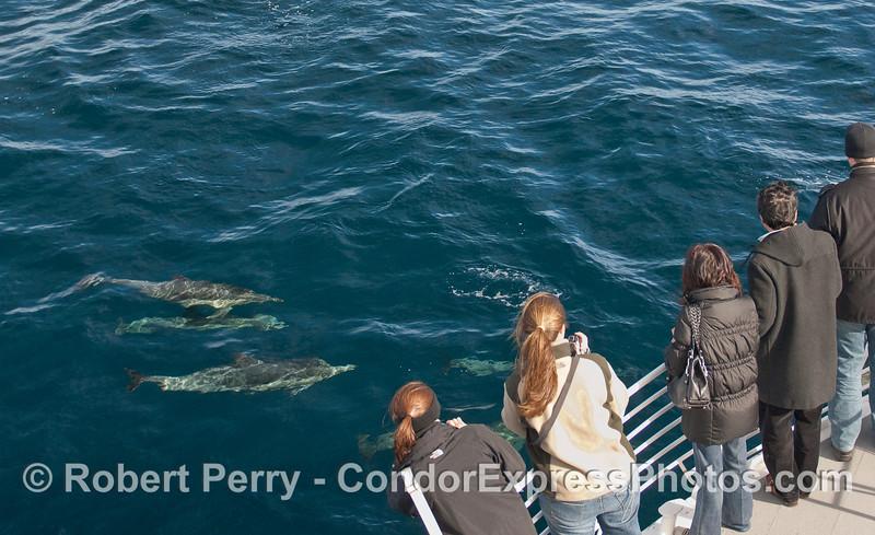 Delphinus capensis & passengers 2010 01-02 SB Channel c  - 049