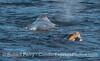 Eschrichtius robustus dorsal-blowhole & Zalophus californianus 2010 01-02 Anacapa Island  - 045