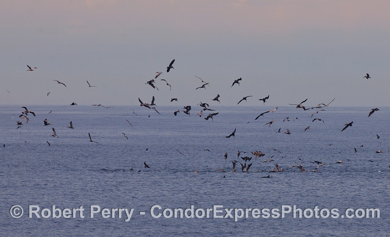 Image 1 of 2:   feeding frenzy of Brown Pelicans (Pelecanus occidentalis), cormorants and common dolphins.