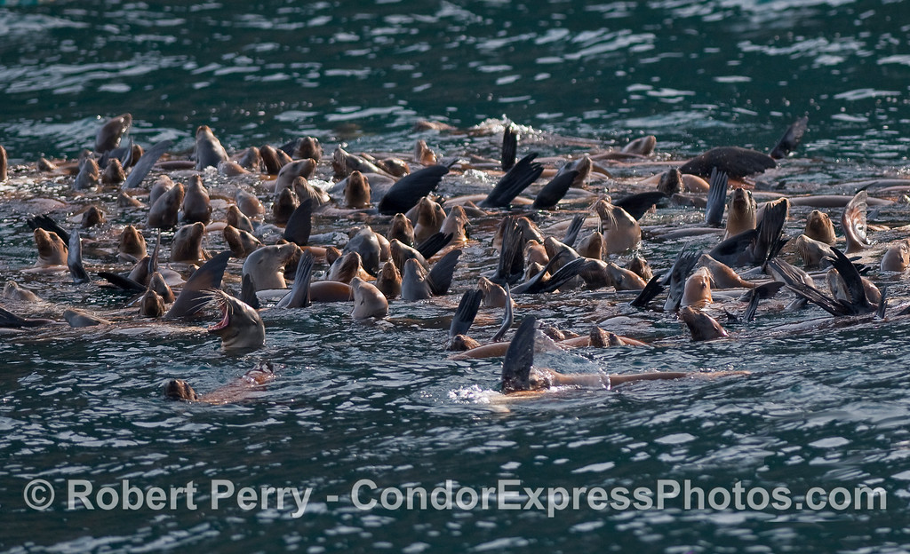 Close look at a raft of young California Sea Lions (Zalophus californianus).