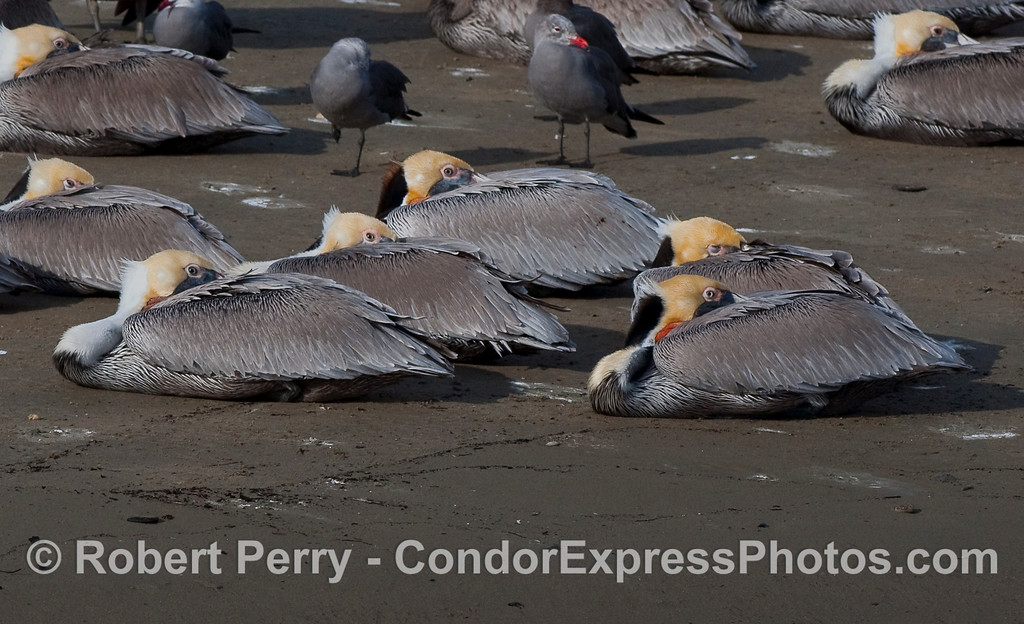 Brown Pelicans (Pelecanus occidentalis) rest on the sand - West Beach, Santa Barbara.