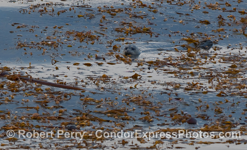 A Pacific Harbor Seal (Phoca vitulina) seeks refuge in a drifting paddy of Giant Kelp (Macrocystis pyrifera) in the middle of the Santa Barbara Channel.  Predators such as white sharks and killer whales may be less likely to see the seal when it is surrounded by kelp.