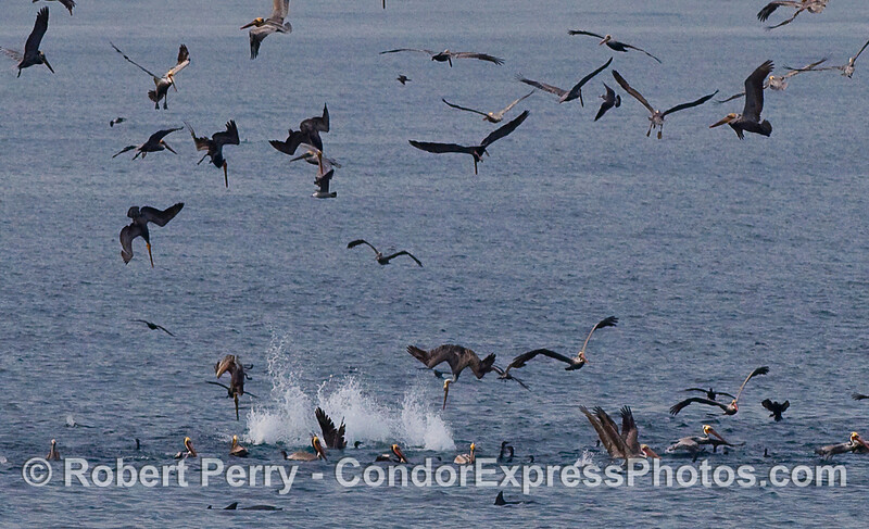 Image 2 of 2:  A closer look at a feeding frenzy of Brown Pelicans (Pelecanus occidentalis), cormorants and common dolphins.
