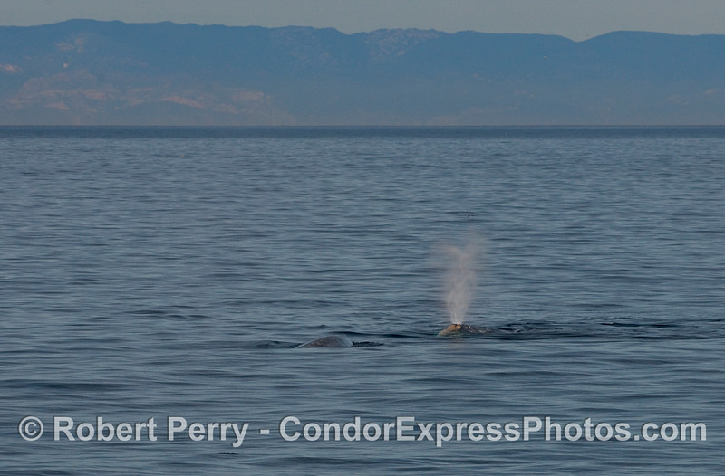 Two Gray Whales (Eschtichtius robustus) enter the Santa Cruz Channel with the Santa Ynez Mountains in the background.