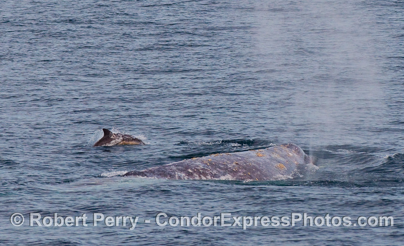 Common Dolphins (Delphinus capensis) and a spouting Gray Whale (Eschrichtius robustus).