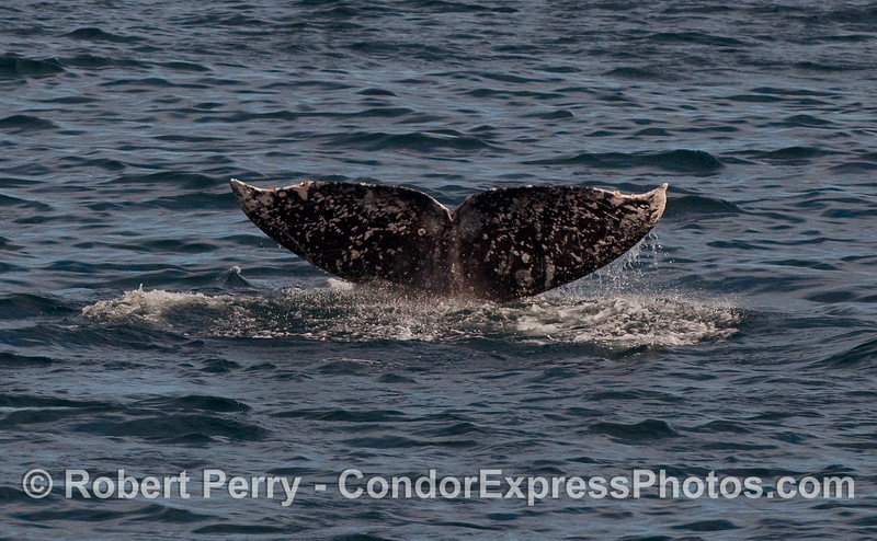 Tail of a Gray Whale (Eschrichtius robustus).