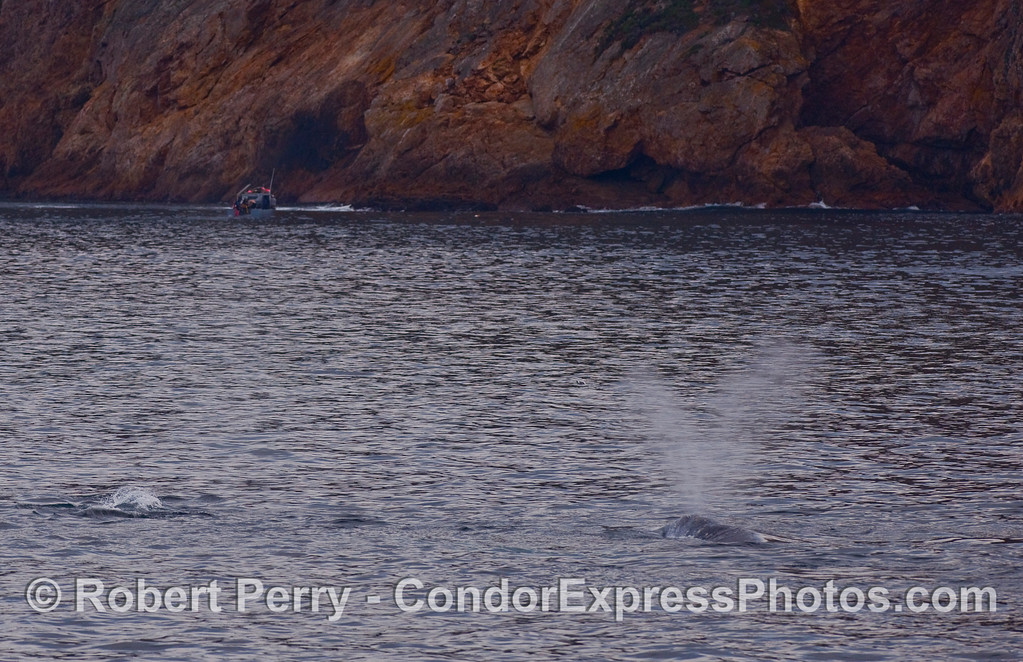 A Gray Whale (Eschrichtius robustus) or two moves in close to see a commercial lobster fisherman.