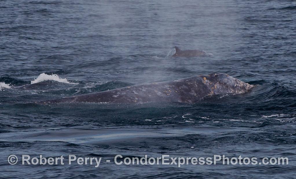 Common Dolphin (Delphinus capensis) escorts two Gray Whale (Eschrichtius robustus).