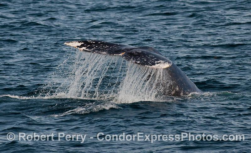 Gray Whale (Eschrichtius robustus) tail fluke waterfall.