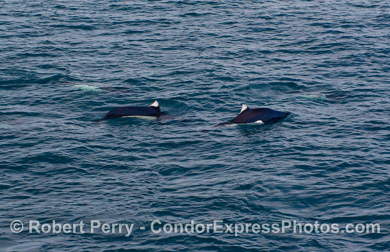 Two Dall's Porpoise (Phocoenoides dalli) on the surface.   (More can barely be seen under the water).