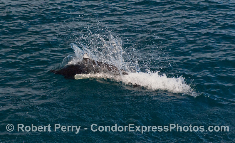 """A Dall's Porpoise (Phocoenoides dalli) pops up and leaves a signature """"rooster tail"""" wake."""