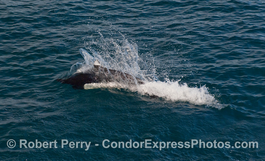 "A Dall's Porpoise (Phocoenoides dalli) pops up and leaves a signature ""rooster tail"" wake."