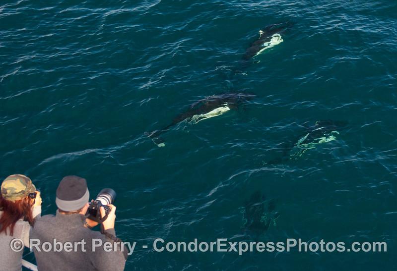 Photographers capture the wiley Dall's Porpoises (Phocoenoides dalli).