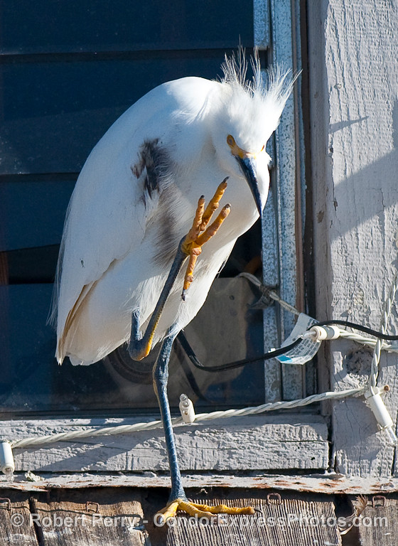 "Snowy Egret (Egretta thula) gives a ""high five.""   (It looks like tar stains on its flanks)."