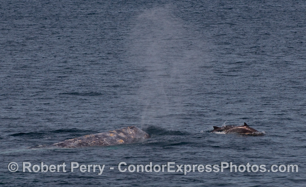 """Common Dolphins (Delphinus capensis) """"ride the bow"""" of a spouting Gray Whale (Eschrichtius robustus)."""