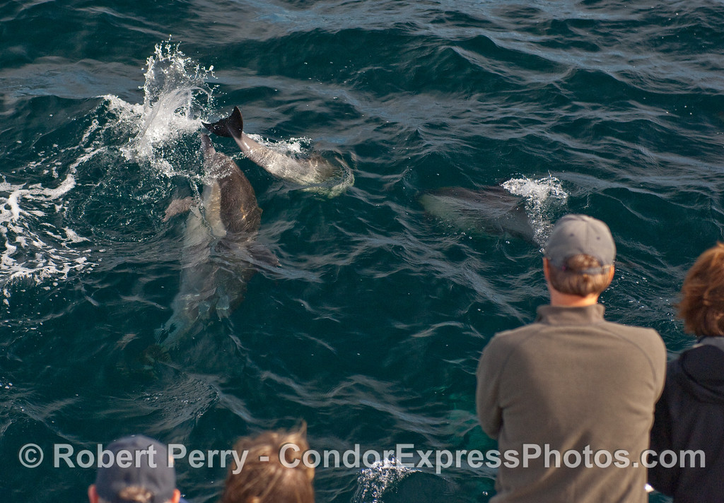More Common Dolphins (Delphinus capensis) fooling around.