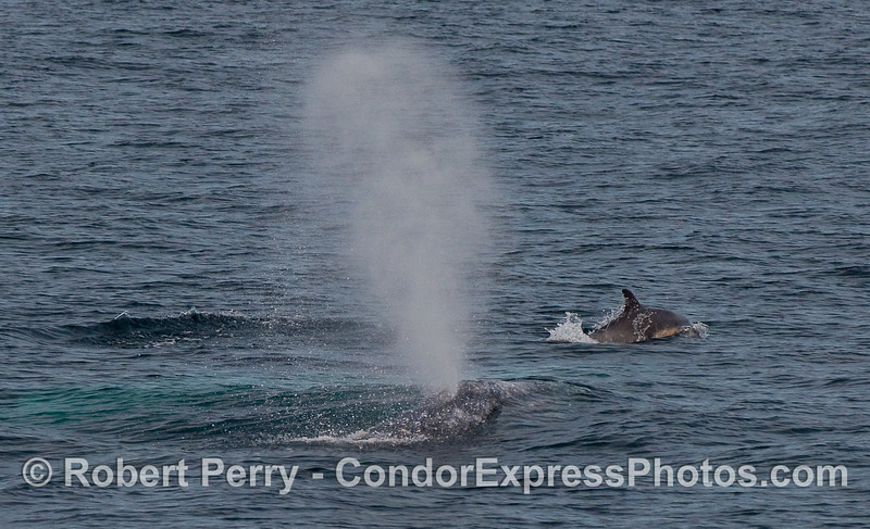 Common Dolphin (Delphinus capensis) and a spouting Gray Whale (Eschrichtius robustus).