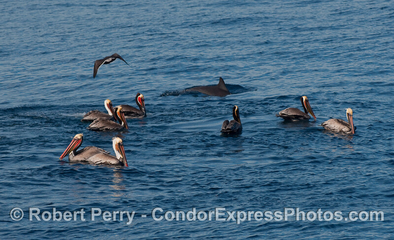 A Common Dolphin (Delphinus capensis) looks for small fish under the hungry Brown Pelicans (Pelecanus occidentalis).