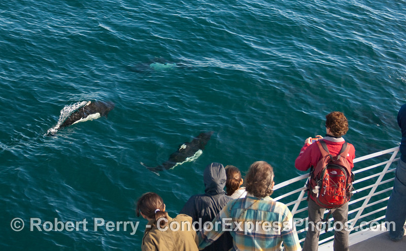 Whalers on board the Condor Express get a close look at some friendly Dall's Porpoise (Phocoenoides dalli).