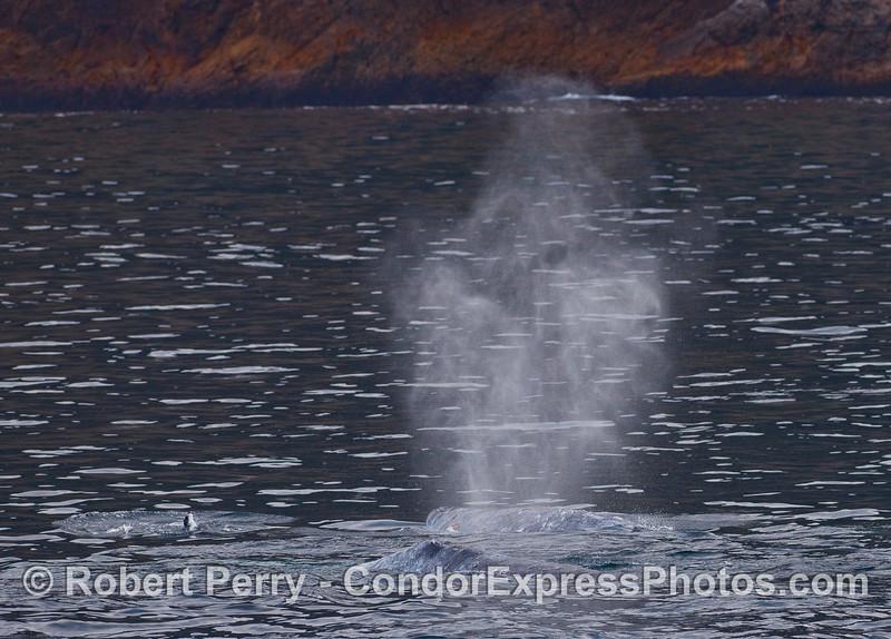 Twin spouts -  Gray Whales (Eschrichtius robustus).