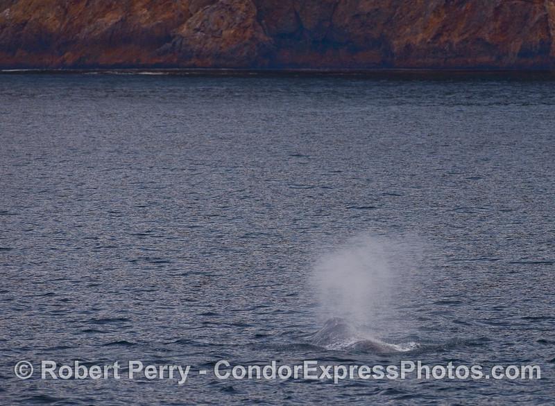 A spouting Gray Whale (Eschrichtius robustus) near Santa Cruz Island.