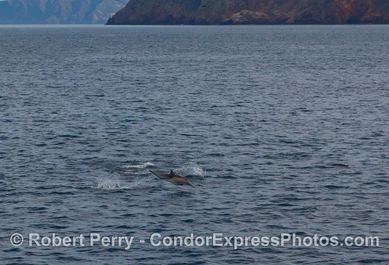 A Common Dolphin (Delphinus capensis) leaps near Santa Cruz Island.