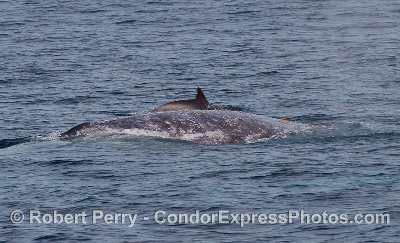 Common Dolphin (Delphinus capensis) and Gray Whale (Eschrichtius robustus), side by side.
