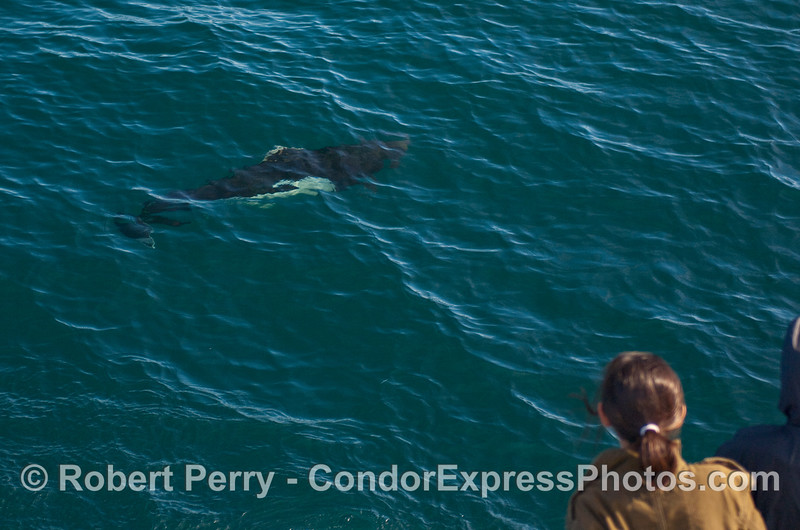 Another Dall's Porpoise (Phocoenoides dalli) visits the boat.