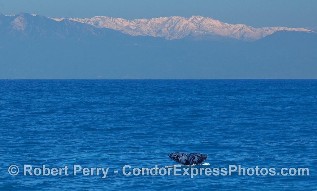 Two sure signs that it's winter in southern California:  snow on the mountain peaks and migrating Gray Whales (Eschrichtius robustus).